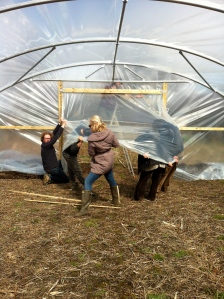 Covering the second polytunnel 2013